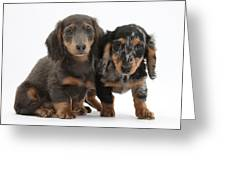 Dachshund Puppies Greeting Card