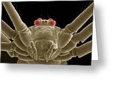 Daddy Long Legs Spider, Sem Greeting Card
