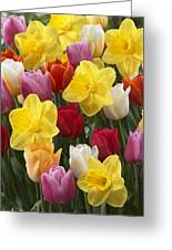 Daffodil Narcissus Sp Lucky Number Greeting Card