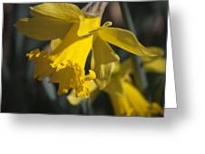 Daffodil Squared Greeting Card