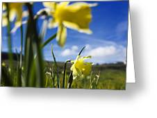 Daffodils In Cezallier. Auvergne. France. Europe Greeting Card