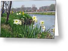 Daffodils In Holland 01 Greeting Card