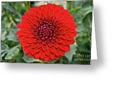 Dahlia 4001 Greeting Card