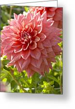 Dahlia Dahlia Sp Beverly Fly Variety Greeting Card