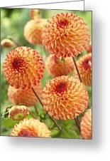 Dahlia Dahlia Sp Mirella Variety Flowers Greeting Card