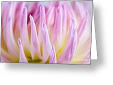 Dahlia Flower 12 Greeting Card