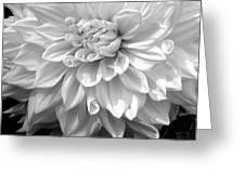 Dahlia In Black And White Greeting Card