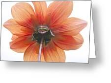 Dahlia Understudy Greeting Card
