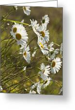 Daisies Blowin In The Wind Greeting Card