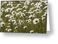 Daisy Fields Forever - Alabama Wildflowers Greeting Card
