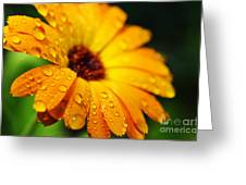 Daisy In The Rain Greeting Card
