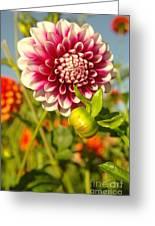 Dalhia In Bloom  Greeting Card
