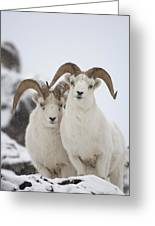 Dall Sheep Ovis Dalli Rams, Yukon Greeting Card