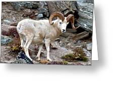Dall's Sheep Greeting Card