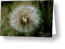 Dandelion Going To Seed Greeting Card