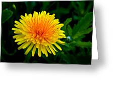 Dandy Among Daisies Greeting Card