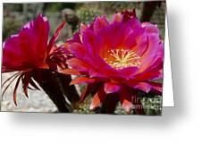 Dark Pink Cactus Flowers Greeting Card