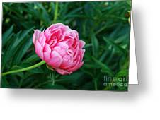 Dark Pink Peony Flower Series 2 Greeting Card