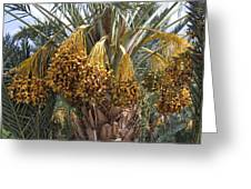 Date Palm In Fruit Greeting Card