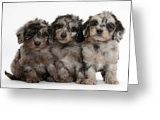 Daxiedoodle Poodle X Dachshund Puppies Greeting Card