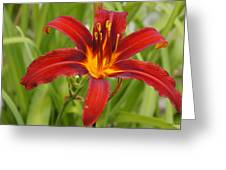 Day Lilly In Diffused Daylight Greeting Card