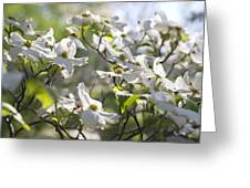 Dazzling Sunlit White Spring Dogwood Blossoms Greeting Card