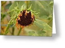 Dead Sunflower Greeting Card