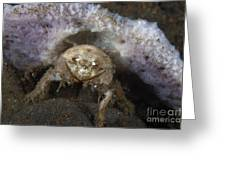 Decorator Crab With Mauve Sponge Greeting Card