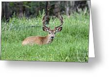 Deer At Rest Greeting Card
