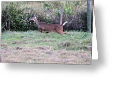 Deer At Viera Greeting Card