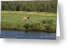 Deer In Tuolumne Meadow Greeting Card
