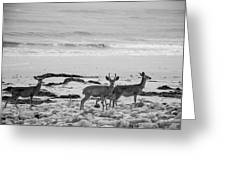 Deer On Beach Black And White Greeting Card