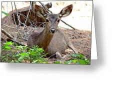 Deer Watching Greeting Card