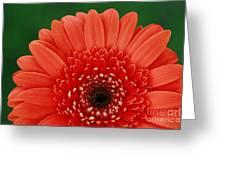 Delightful Gerber Daisy Greeting Card