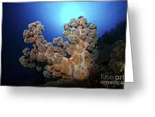 Dendronephthya Soft Coral, Acasta Reef Greeting Card
