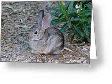 Desert Cottontail Greeting Card