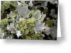 Desertholly (atriplex Hymenelytra) Greeting Card