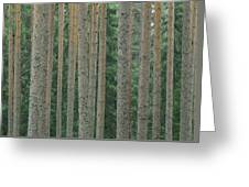 Detail Of Arrow-straight Evergreen Greeting Card