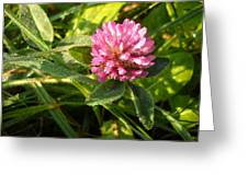 Dew Covered Clover Blossom Greeting Card