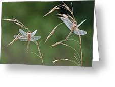 Dew Covered Dragonflies Greeting Card