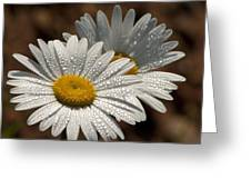 Dew Tell Oxeye Daisy Wildflowers Greeting Card