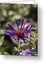 Dewy Purple Fleabane Greeting Card