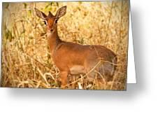 Dik-dik Antelope Greeting Card