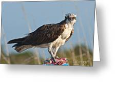 Dining Osprey Greeting Card