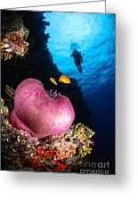 Diver And Magnificent Anemone, Fiji Greeting Card