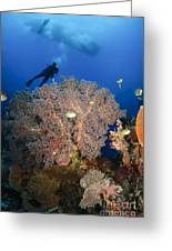 Diver Swims Over Sea Fans, Indonesia Greeting Card