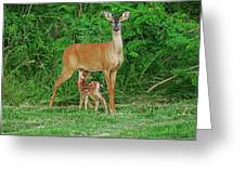 Doe And Nursing Fawn Greeting Card
