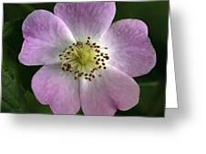 Dog Rose (rosa Canina) Greeting Card