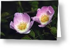 Dog Rose (rosa Sp.) Greeting Card