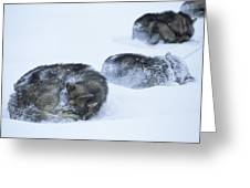 Dogs Sleep In Blizzard On Frozen Ocean Greeting Card by Gordon Wiltsie